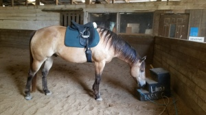 Galahad testing out the new saddle